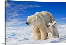 View of Polar Bear sow (Ursus Maritimus) with her triplet cubs