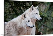 White wolf pair at the Woodland Park Zoo in Seattle, Washington