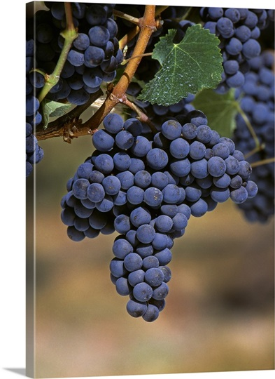 californian wine clusters 2 clusters of grapes and wine abstract this article considers application of a clusters approach to the california wine industry after examining the idea of clusters in the context of industrial-complex economics, agglomeration.