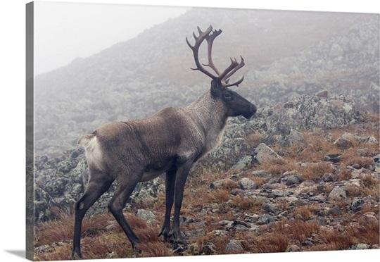 Alpine tundra caribou - photo#5