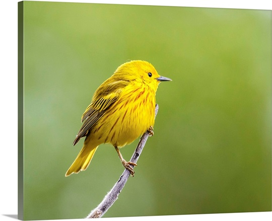 Yellow warbler perched during spring time