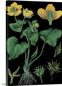 Marsh Marigold - Botanical Illustration Photo Canvas Print ...
