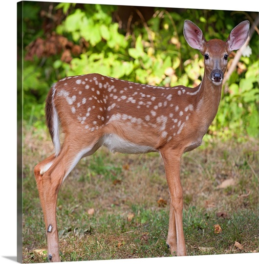 Baby white-tailed deer Photo Canvas Print | Great Big Canvas - photo#21