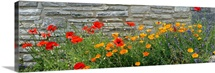 Red Poppy, Lavender And Icelandic Poppy Against Stone Wall