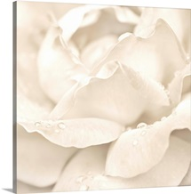 White Rose with Dew