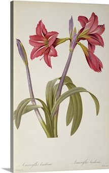 Amaryllis Brasiliensis, from `Les Liliacees by Pierre Redoute