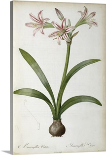 Amaryllis Vittata, from `Les Liliacees by Pierre Redoute