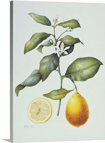 Citrus Limon, 1995