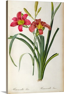 Hemerocallis fulva, from `Les Liliacees, 1805 (coloured engraving)