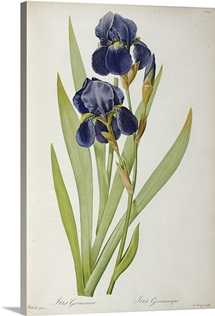 Iris Germanica, from `Les Liliacees, 1805 (coloured engraving)