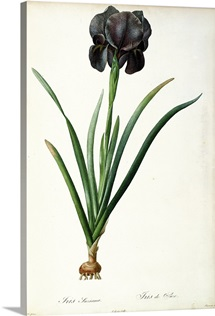 Iris Luxiana, from `Les Liliacees, 1805 (coloured engraving)