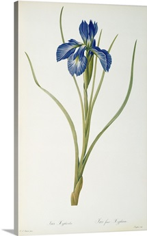 Iris Xyphioides, from `Les Liliacees, 1808 (coloured engraving)