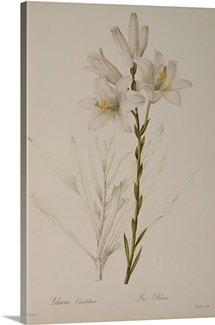Lilium Candidum, from `Les Liliacees, 1807 (coloured engraving)