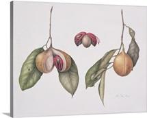 Nutmeg (Myristica fragrans) 2004 (w/c on paper)