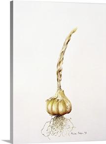 Onion, 1998 (w/c on paper)