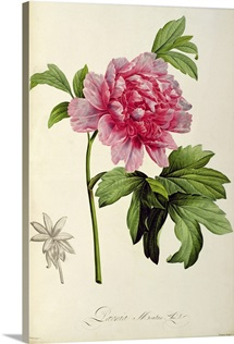 Paeonia Moutan, c.1799 (hand coloured engraving)