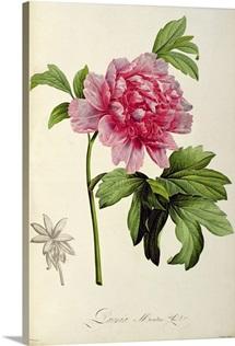 Paeonia Moutan, c.1799 (hand coloured engraving)