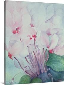 Pink Cyclamen, Victoria