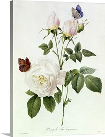 Rosa: Bengale the Hymenes, from Les Roses, 19th century (coloured engraving)