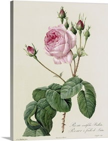 Rosa Centifolia Bullata, from Les Roses, 19th century (coloured engraving