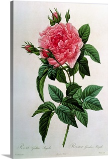 Rosa Gallica Regallis, from Les Roses, 19th century (coloured engraving)