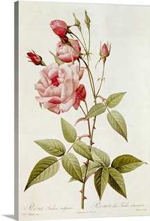 Rosa Indica Vulgaris, from Les Roses by Claude Antoine Thory