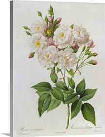Rosa Noisettiana, fromLes Roses, 19th century 9coloured engraving)