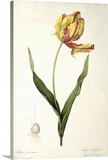 Tulipa gesneriana dracontia, from Les Liliacees