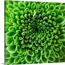 Green Shamrock Chrysanthemum