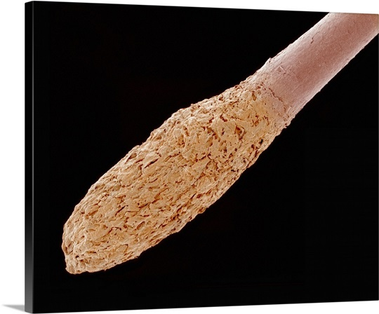 Root Hairs Microscope Human Hair Root Below