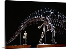 Human Skeleton And Apatosaurus Louisae