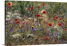 Red Poppies And Wildflowers