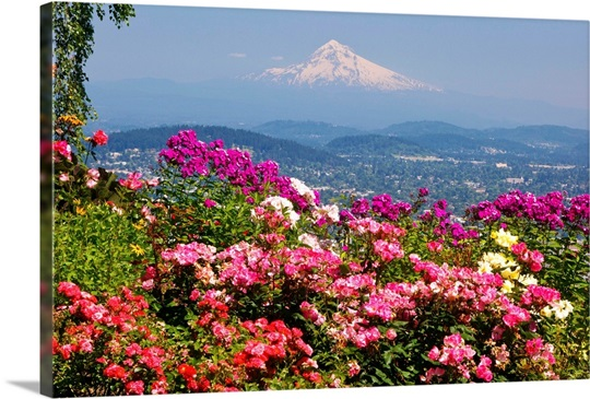 Roses In Garden: Rose Garden Adds Beauty To Mt.Hood From Pittock Mansion