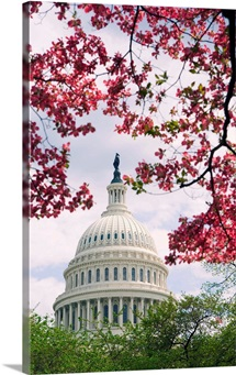 United States Capitol Dome In Washington, D.C. And Flowering Spring Trees