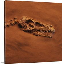 Velociraptor Skull And Neck In Sand