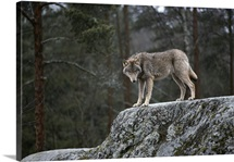 A lone wolf standing on a rock in a wooded setting