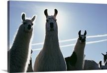 Llama Farm, Sisters, Oregon