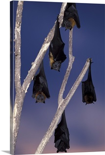 Australia, Queensland, Ipswich Grey-headed flying foxes and black flying foxes