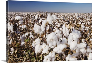 cotton plant senior singles The cotton plant is by nature a perennial, but is grown as an annual because commercial crops must be turned under each year shortly after harvest to prevent diseases and to help combat the.