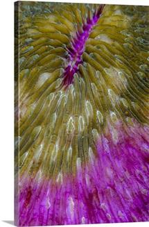 Indonesia, Alor Island, Bacatan Wall. Close-up of hard coral