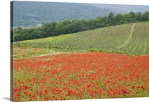 Italy, Tuscany, field of red poppies