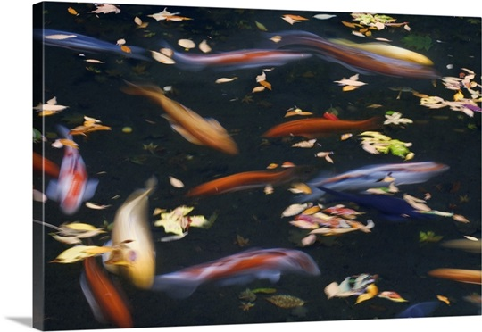 Oregon portland koi fish in pond at portland japanese for Portland japanese garden koi