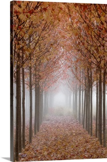 Oregon, Willamette Valley. Rows of autumn-colored maple trees form pathway in fog