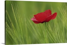 Red poppy flower among wheat crop, Tuscany, Italy