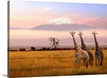 Africa, Kenya, Nairobi Area, Amboseli National Park, Kilimanjaro and giraffes