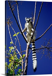 Madagascar, Fianarantsoa, Fianarantsoa, Anja Nature Reserve, Lemur Catta