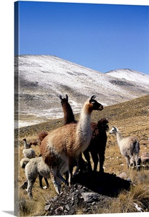 Peru, Puno, Abra la Raya pass, alpacas