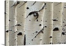 Birch Trees In Row, Close-Up Of Trunks