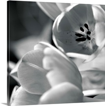 Black and White Tulips I