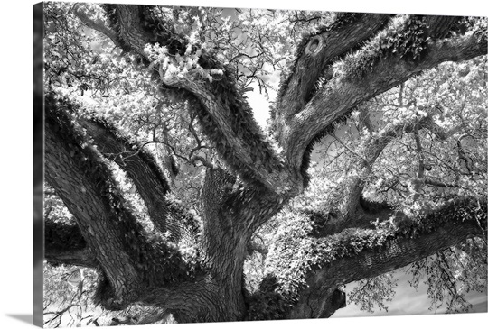 Coast Live Oak II